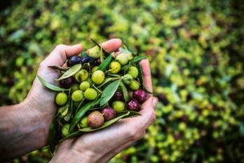 Hände voller Oliven